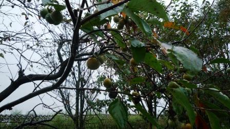 柿木.JPG